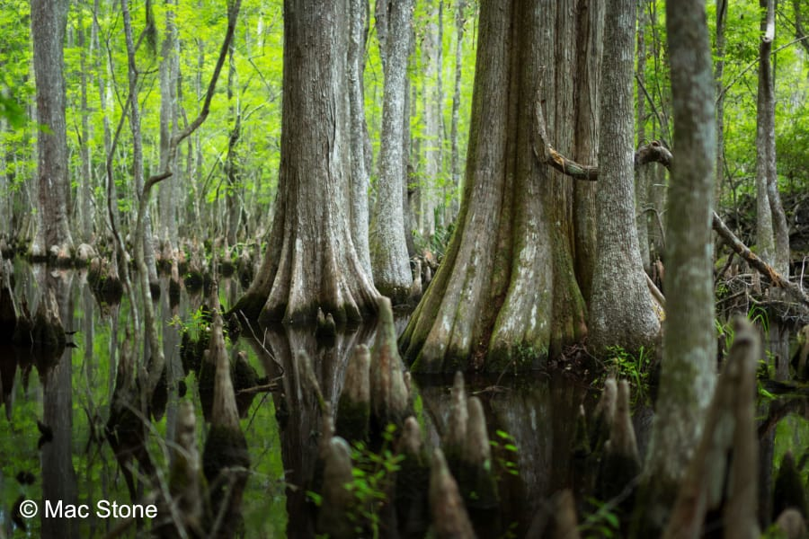 SC Audubon's Beidler Forest - View Cypress Trees from the Boardwalk